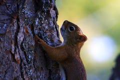 Árbol que sube de la ardilla roja Foto de archivo libre de regalías