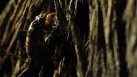 Árbol que sube de la ninfa de la cigarra almacen de video
