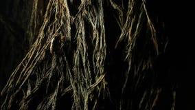 Árbol que sube de la ninfa de la cigarra almacen de metraje de vídeo