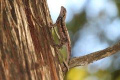 Árbol que sube del lagarto espinoso de Tejas fotografía de archivo libre de regalías