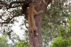 Árbol que sube del leopardo foto de archivo libre de regalías