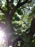 Árbol que sube (planta de dinero) de la planta aurífera del Epipremnum Imágenes de archivo libres de regalías