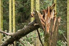 Árbol quebrado después de un huracán contra la perspectiva de otros árboles fotos de archivo libres de regalías