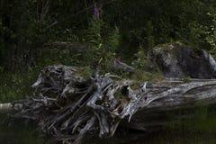 Árbol quemado, lago Coldwater, Washington Fotos de archivo