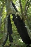 Árbol quemado por el relámpago Fotografía de archivo
