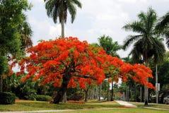 Árbol real de Poinciana Foto de archivo libre de regalías