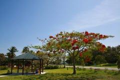 Árbol real del flor de Poinciana al lado de la mesa de picnic abrigada Imagen de archivo libre de regalías