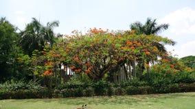 Árbol real del poinciana en Bijapur Imagen de archivo libre de regalías