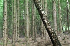Árbol rebelde en un bosque Imagenes de archivo