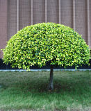 Árbol redondo Fotografía de archivo