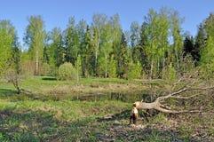 Árbol reducido por un castor Imagen de archivo