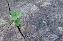 Árbol reducido viejo y un crecimiento fuerte del almácigo Imágenes de archivo libres de regalías