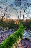 Árbol revestido del musgo Foto de archivo