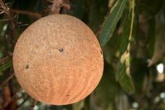 Árbol robusta del Shorea, árbol del obús Cierre para arriba foto de archivo