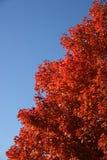 Árbol rojo Imagenes de archivo