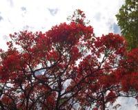 Árbol rojo Foto de archivo