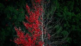 Árbol rojo abstracto de la hoja que vierte en viento almacen de metraje de vídeo
