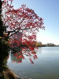 Árbol rojo cerca del lago imagen de archivo libre de regalías