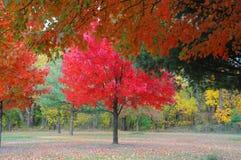 Árbol rojo-con hojas hermoso Imagen de archivo libre de regalías