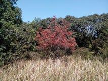 Árbol rojo de la azalea Imagenes de archivo
