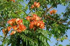 Árbol rojo de la flor Foto de archivo