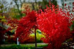 Árbol rojo de la hoja en otoño Imagen de archivo