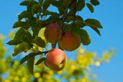 Árbol rojo del amarillo del cielo azul de la manzana de la ramificación Fotografía de archivo libre de regalías