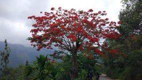 Árbol rojo del floverd foto de archivo