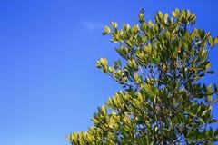 Árbol rojo del mangle en fondo del cielo azul Foto de archivo libre de regalías