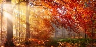 Árbol rojo del otoño con rayos solares brumosos Fotografía de archivo