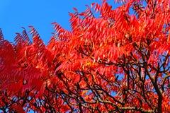 Árbol rojo del otoño en fondo del cielo azul Fotos de archivo libres de regalías