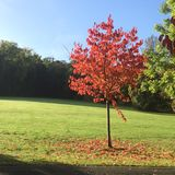 Árbol rojo en caída/otoño foto de archivo