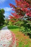 Árbol rojo en el parque Imágenes de archivo libres de regalías