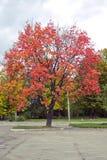 Árbol rojo en la ciudad Fotos de archivo