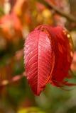 Árbol rojo vibrante intrépido de las hojas del cielo (altissima del Ailanthus) Fotografía de archivo