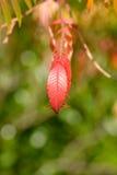 Árbol rojo vibrante intrépido de las hojas del cielo (altissima del Ailanthus) Imagen de archivo libre de regalías