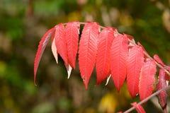 Árbol rojo vibrante intrépido de las hojas del cielo (altissima del Ailanthus) Foto de archivo libre de regalías