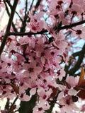 Árbol rosado Imagen de archivo libre de regalías