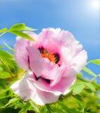 Árbol rosado blando de la peonía, abeja y cielo azul brillante con el sol Fotografía de archivo libre de regalías