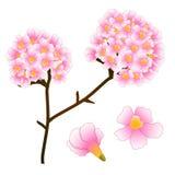 Árbol rosado de la flor de trompeta Aislado en el fondo blanco Ilustración del vector Fotos de archivo