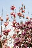 Árbol rosado de la flor del agnolia Foto de archivo