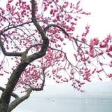 Árbol rosado de la flor del flor del melocotón a lo largo del lago foto de archivo