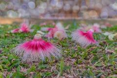 Árbol rosado de la flor, Panza-madera, sphaericaRoxbde Careya , El Lecythidaceae, cae abajo en la tierra con él fondo del  imagen de archivo libre de regalías