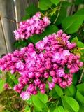 Árbol rosado de la lila foto de archivo