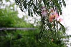 Árbol rosado de la mimosa, julibrissin del Albizia Fotos de archivo