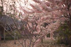 Árbol rosado de Sakura Imagen de archivo libre de regalías