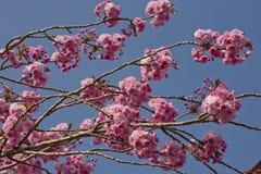 Árbol rosado del flor de cereza Fotografía de archivo libre de regalías