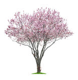 Árbol rosado del sacura Foto de archivo
