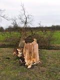 Árbol roto dañado por el viento de huracán después de la tormenta Fotografía de archivo libre de regalías