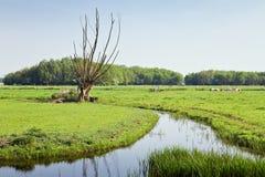 Árbol-sauces viejos en landcape holandés del país Fotos de archivo